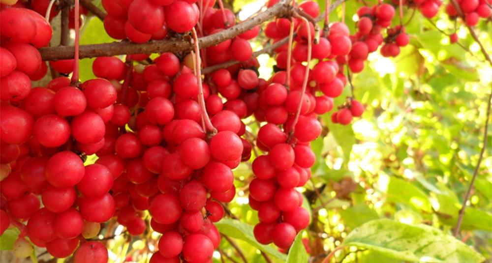qua-schizandra-berries1